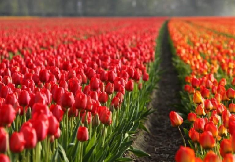 tulipani-a-bologna