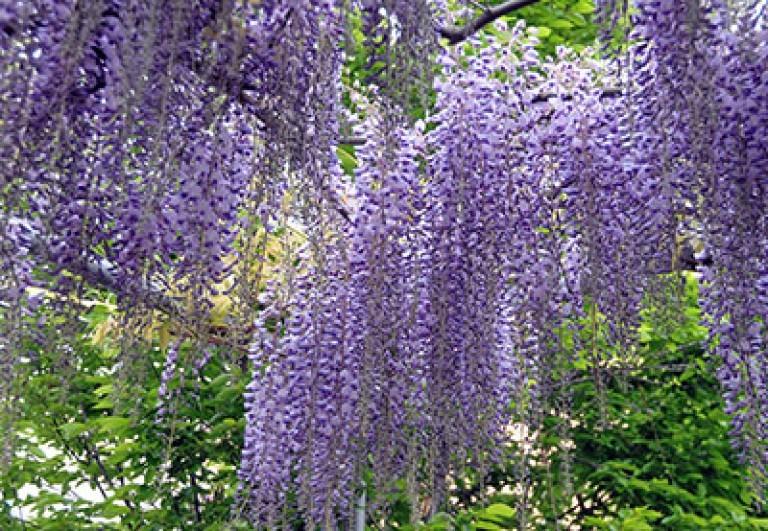 glicine-bologna-scoperta-fioritura